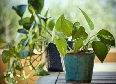 Epuration de l'air intérieur par les plantes